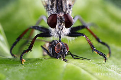 Housefly Wall Art - Photograph - Robber Fly Captures Dinner by Brandon Alms