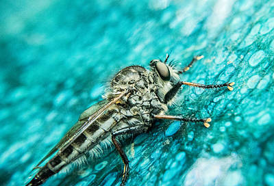Preditor Photograph - Robber Fly On Blue Ceraminc Plate 1 by Douglas Barnett