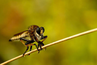 Bug Eyes Photograph - Robber Fly by Shane Holsclaw