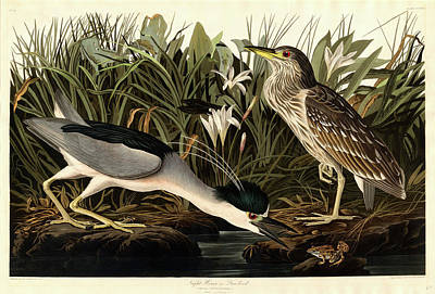 Handcolored Etching Drawing - Robert Havell After John James Audubon, Night Heron Or Qua by Litz Collection