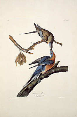 Handcolored Etching Drawing - Robert Havell After John James Audubon, Passenger Pigeon by Litz Collection