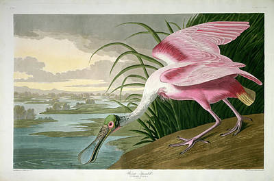 Spoonbill Drawing - Robert Havell After John James Audubon, Roseate Spoonbill by Quint Lox