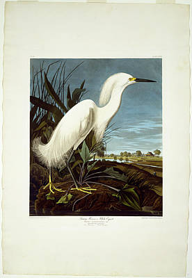 Egret Drawing - Robert Havell After John James Audubon, Snowy Heron by Litz Collection