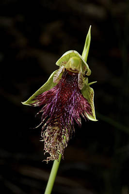 On Trend At The Pool - Robertsons Bearded Orchid by Graham Palmer