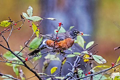 Red-breasted Robin Photograph - Robin And Berries by Paul Freidlund