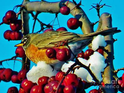 Photograph - Robin And Crab Apples by Judy Via-Wolff