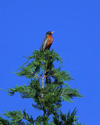 Photograph - Robin Christmas Tree Topper by Bill Swartwout