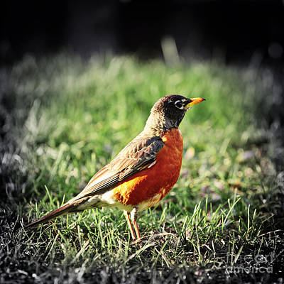 Birds Rights Managed Images - Robin Royalty-Free Image by Elena Elisseeva