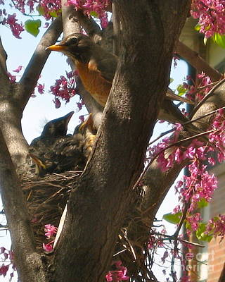 Photograph - Robin Feeding Babies by Phyllis Kaltenbach