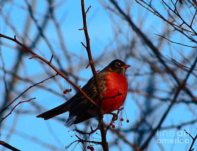 Photograph - Robin by Gena Weiser