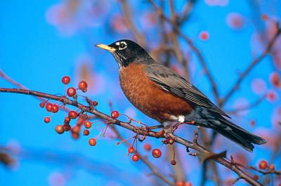 Robin Photograph - Robin In Crabapple Tree by Paul J. Fusco