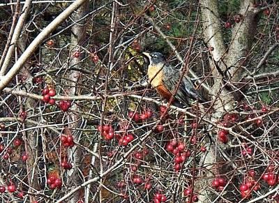 Robin In The Crab Apple Trees Art Print by Joy Nichols
