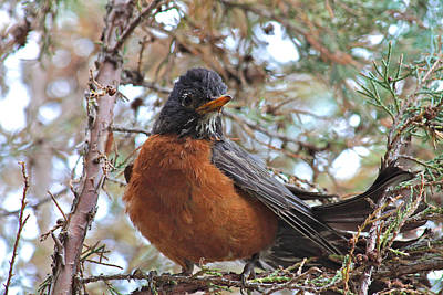 Photograph - Robin In The Juniper Tree by Karon Melillo DeVega
