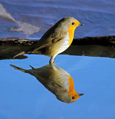 Photograph - Robin In Water by Grant Glendinning