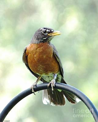 Photograph - Robin by Lizi Beard-Ward