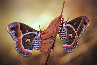 Macro Photograph - Robin Moths by Jimmy Hoffman