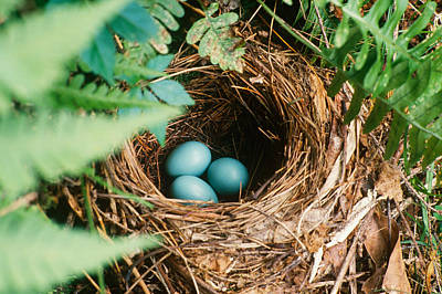 Photograph - Robin Nest by Del Mulkey