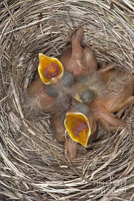 Hungry Chicks Photograph - Robin Nestlings by Scott Camazine