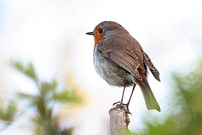 Photograph - Robin On A Pole by Jeremy Hayden