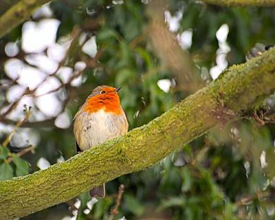 Photograph - Robin On Branch by Dave Woodbridge