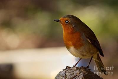 Western Art - Robin on branch by Shaun Wilkinson