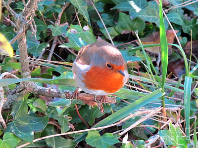 Photograph - Robin Readbreast by Art Photography