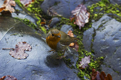 Photograph - Robin Red Breast by Ian Mitchell