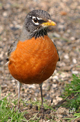 Photograph - Robin Redbreast by Laura Mountainspring