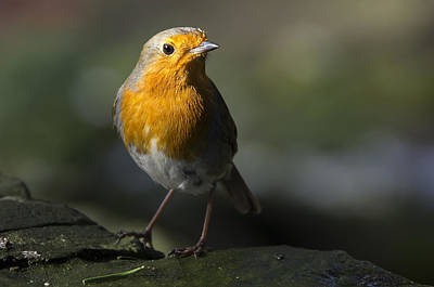 Photograph - Robin Redbreast by Ross G Strachan