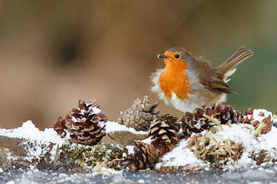 Robin Snow With Fir Cones Art Print