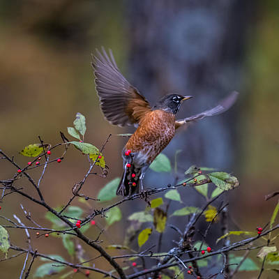 Red-breasted Robin Photograph - Robin Taking Off by Paul Freidlund