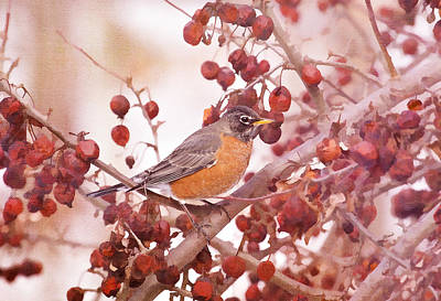 Robin With Red Berries Art Print by Daphne Sampson