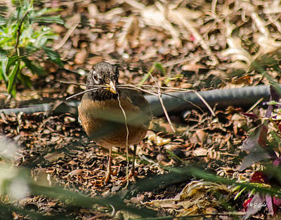 Photograph - Robin With Twigs by Allen Sheffield