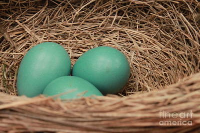 Photograph - Robins Three Blue Eggs by Jennifer E Doll