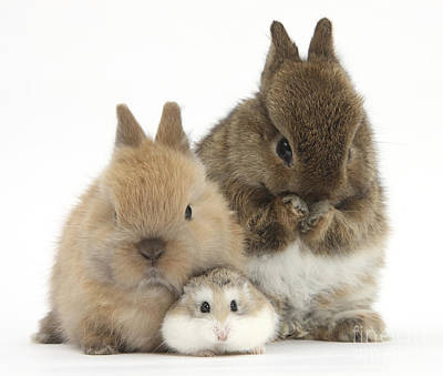 Rabbit Photograph - Roborovski Hamster And Rabbits by Mark Taylor