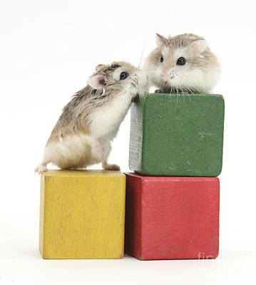 Photograph - Roborovski Hamsters by Mark Taylor
