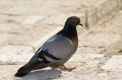 Dove Photograph - Rock Dove by Nigel Downer