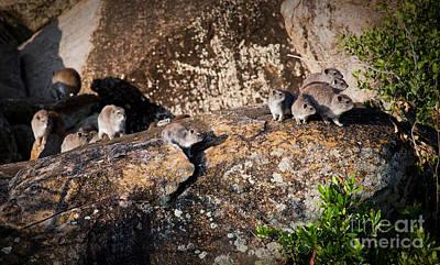 Animal Photograph - Rock Hyrax Herd In Serengeti. Tanzania. Africa. by Michal Bednarek