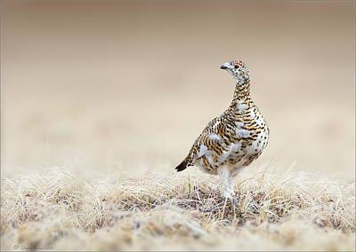 Photograph - Rock Ptarmigan by Daniel Behm