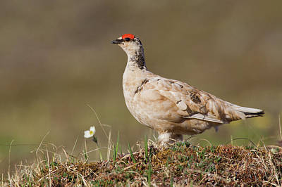Rock Ptarmigan, Seward Peninsula, Alaska Art Print by Ken Archer