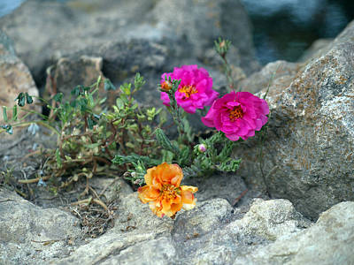 Rock Rose Art Print by Corina Bishop