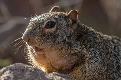 Art Print featuring the photograph Rock Squirrel by Beverly Parks