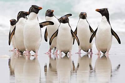 Photograph - Rockhopper Penguin Emerging  by Heike Odermatt