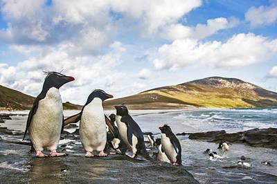 Photograph - Rockhopper Penguins Falklands by Heike Odermatt