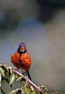 Of Birds Photograph - Rockin Robin by Skip Willits