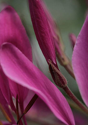 Spider Flower Photograph - Rocking The Cradle by Connie Handscomb