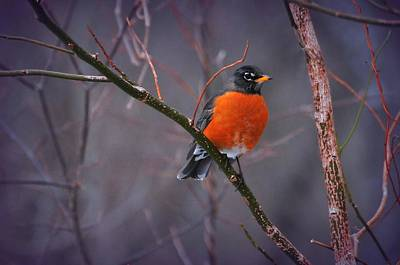 Photograph - Rock'n Robin by Diana Angstadt