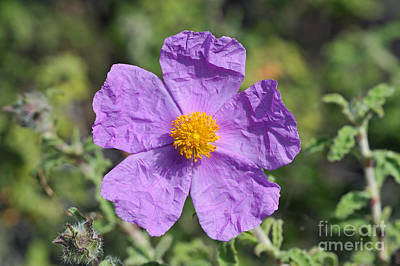 Print featuring the photograph Rockrose Flower by George Atsametakis