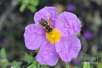 Print featuring the photograph Rockrose Flower With Bee by George Atsametakis
