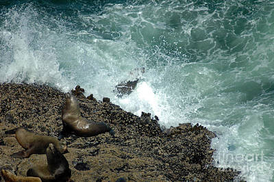 Photograph - Rocks Waves And Sealions by Cindy Murphy - NightVisions
